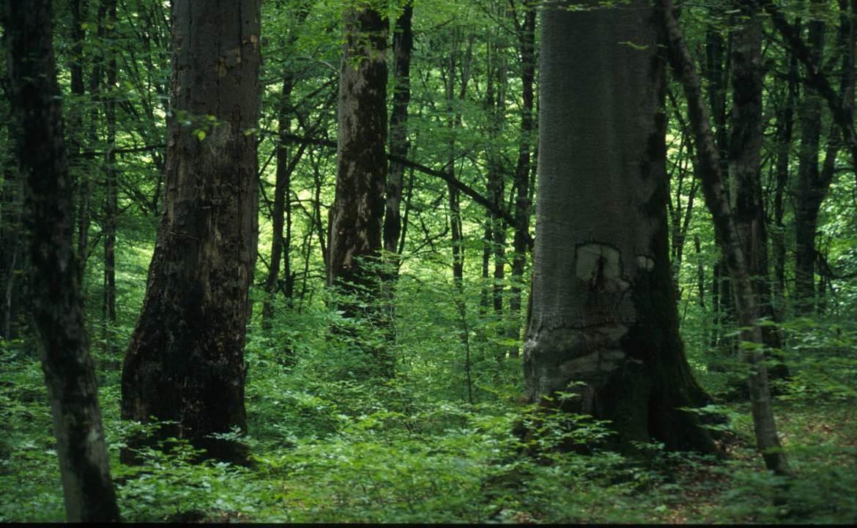 Bosque hircano